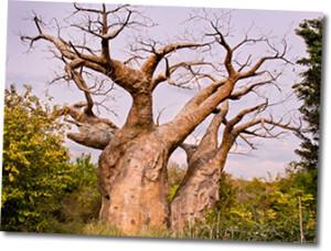baobab-way-with-riana-avis (2)