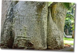 magnificent-baobab