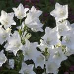 Appreciation, Canterbury Bells, White Campanula, English garden