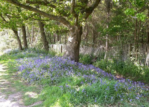 Blue Bells, Reigate Heath, Reigate
