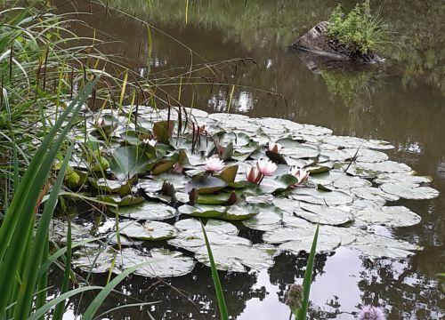 Lily pond somewhere near Bletchingley, Surrey